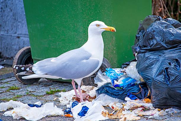 gaivota-prateada à procura de resíduos - desperdício alimentar imagens e fotografias de stock
