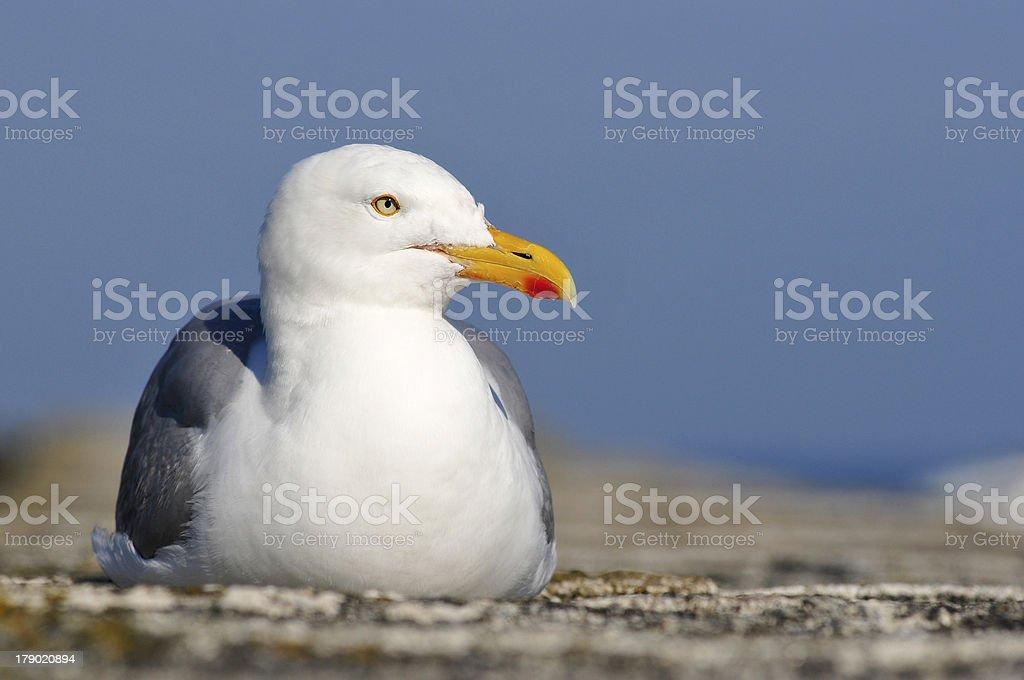 Herring gull lying on wall stock photo