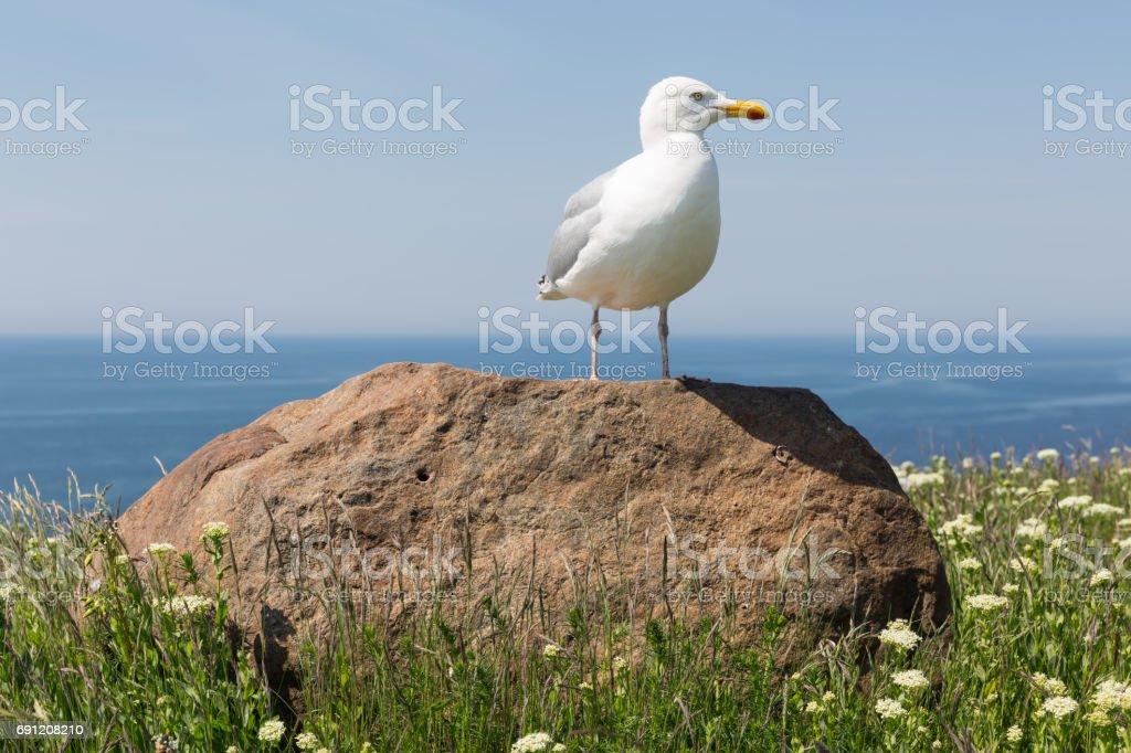 Herring gull on big stone at German island Helgoland stock photo