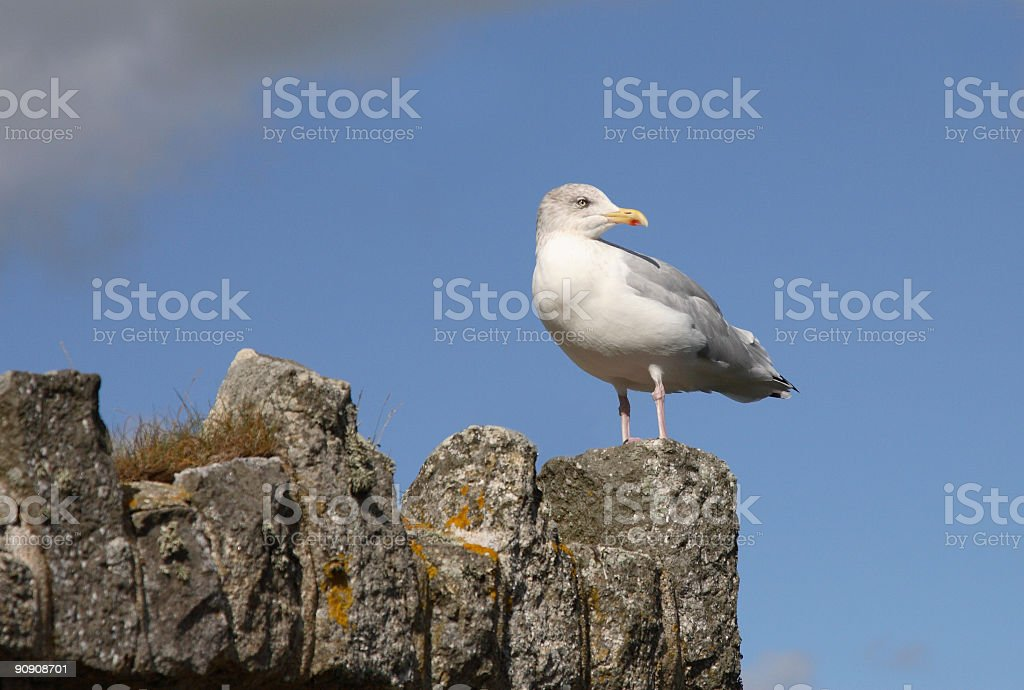 Herring Gull Perched on a Wall stock photo