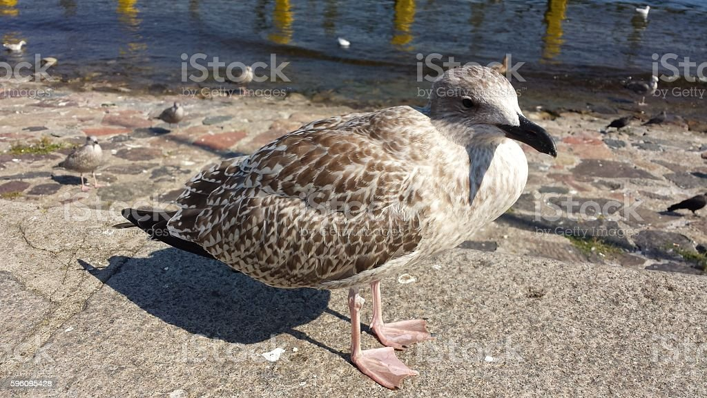 Herring Gull  Lizenzfreies stock-foto