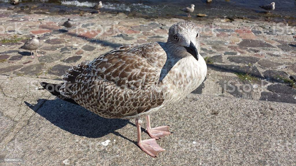 Herring Gull royalty-free stock photo