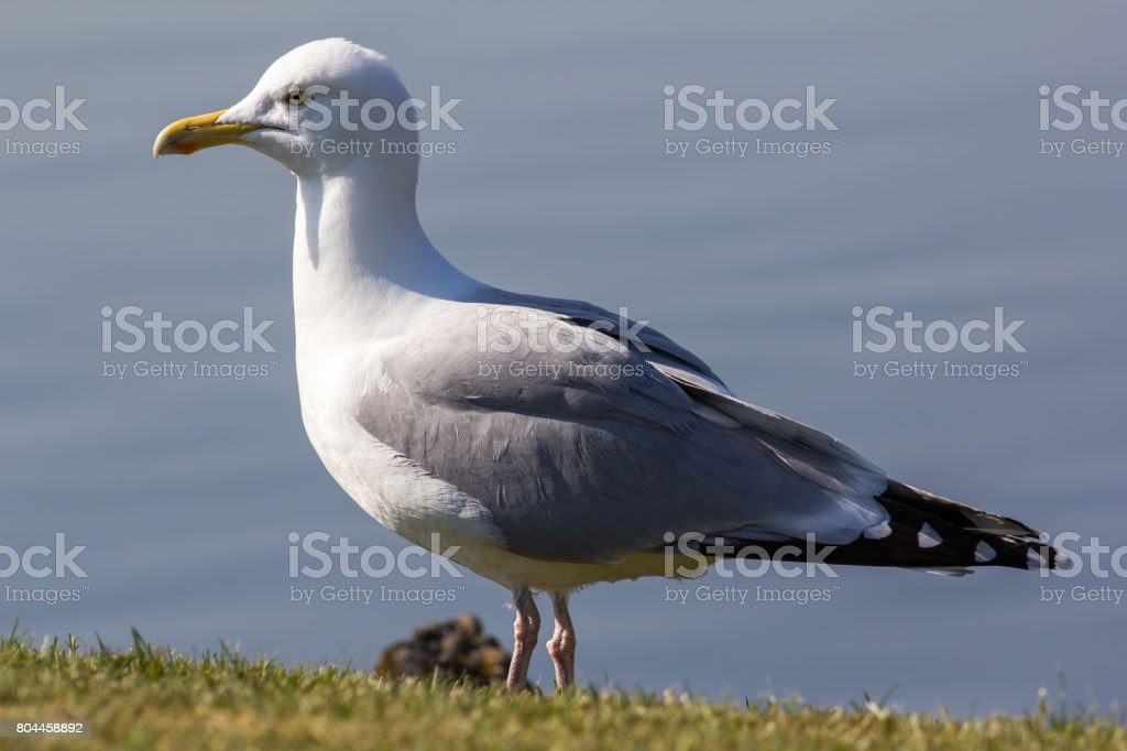 Herring gull (Larus argentatus) standing in close up profile. Full body seagull stock photo