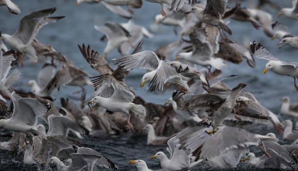 Herring gulls feeding on Sand eels stock photo