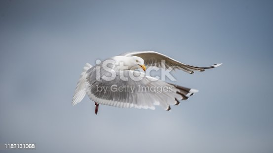 Herring Gull (Larus argentatus) flying and looking at you with a blue sky in the background. Bohuslan, Sweden.
