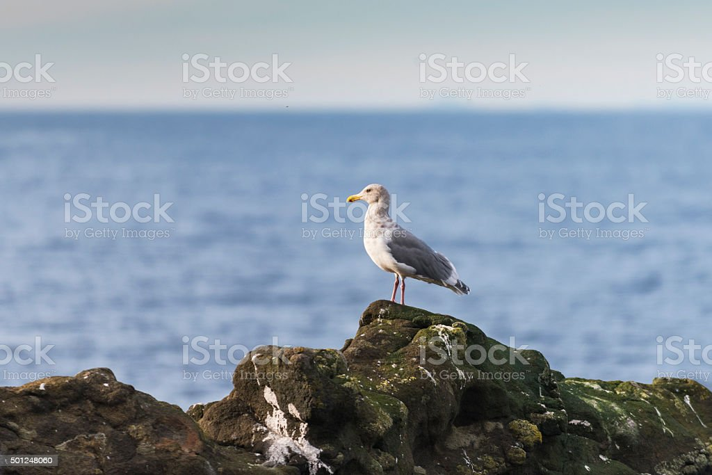 Herring Gulls stock photo