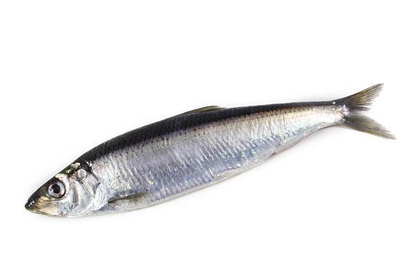 herring - herring stock photos and pictures