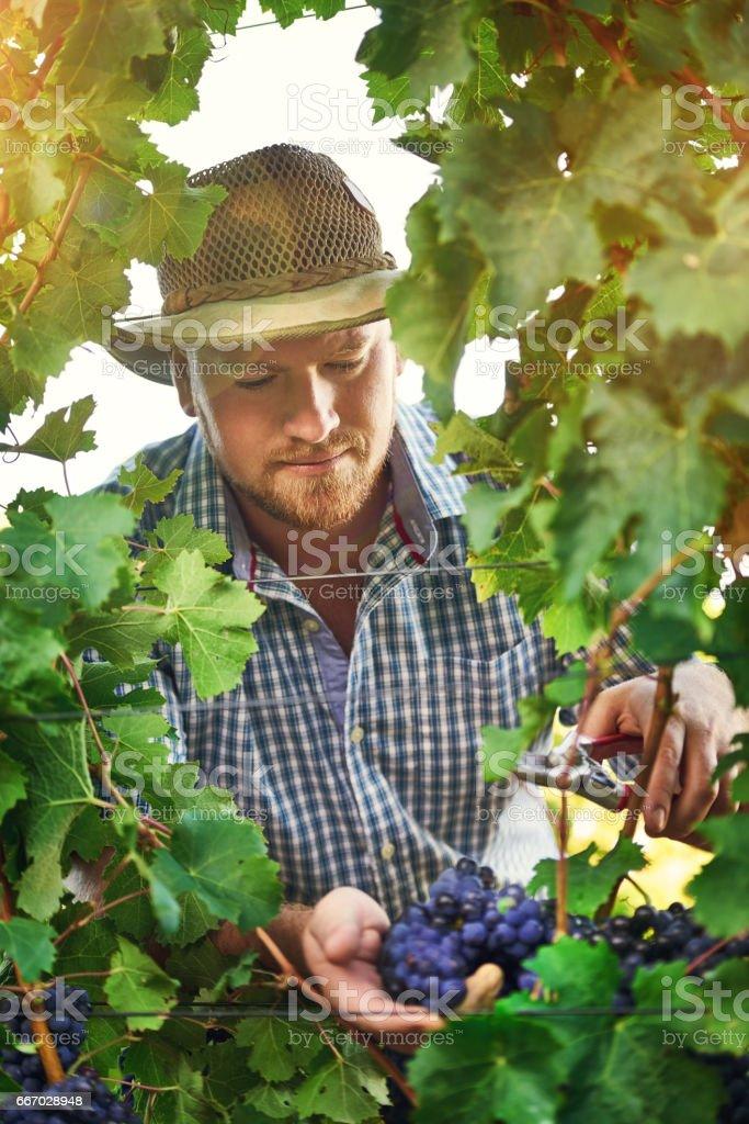 He's a master grape grower stock photo