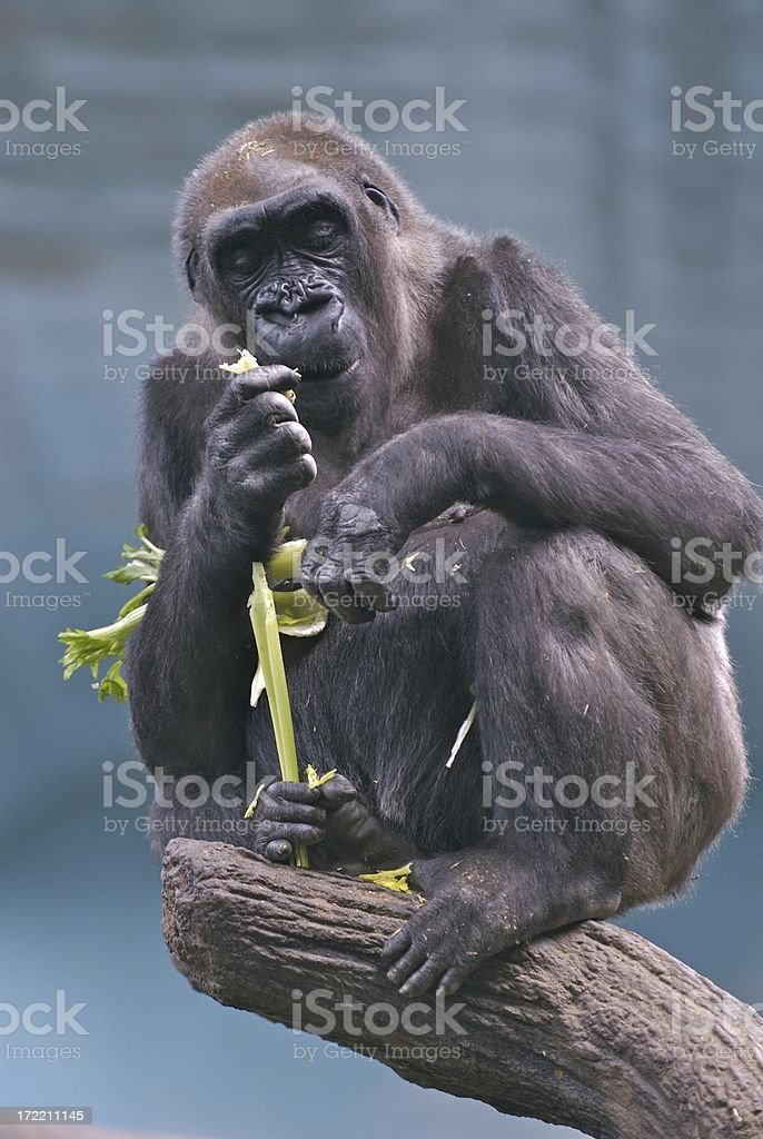 He's Still a Gorilla royalty-free stock photo