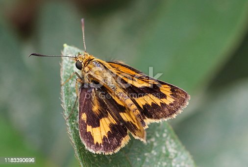 Hesperia (the branded skippers) is a Holarctic genus in the skippers (Hesperiidae) butterfly family.