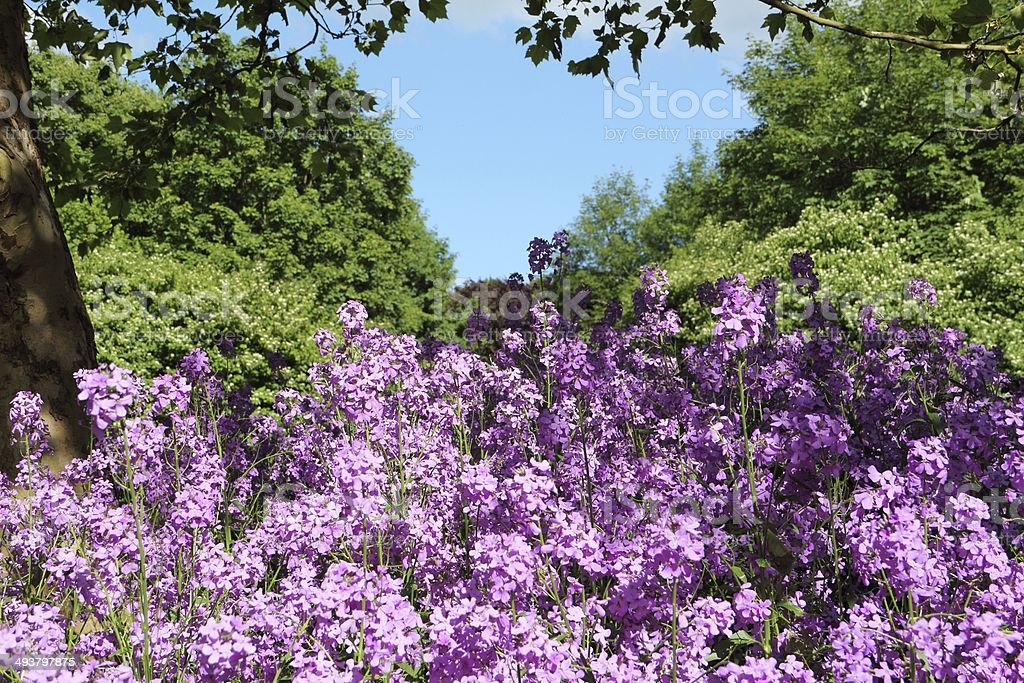 Hesperis matronalis - Nachtviole royalty-free stock photo