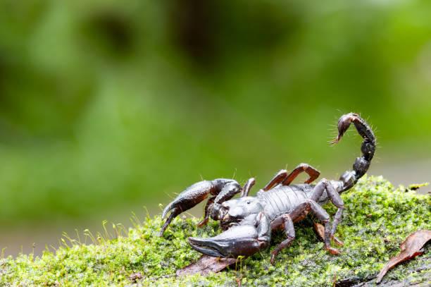 Heterometrus Longimanus schwarzen Skorpion. Kaiser-Skorpion, Pandinus Imperator über natürlichen Hintergrund – Foto