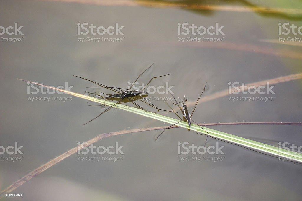 Heteroptera Gerris lacustris stock photo