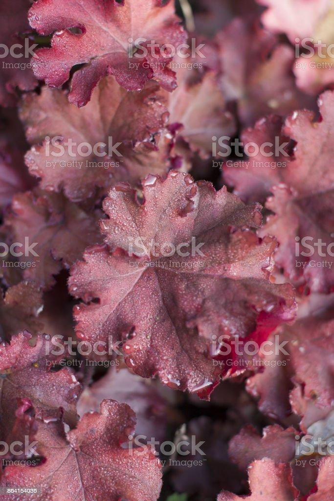 Heuchera in the autumn royalty-free stock photo