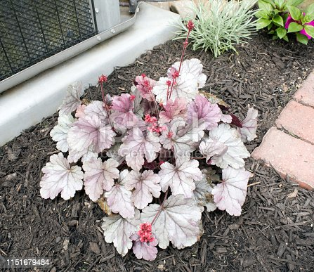 Looking down on a perennial Coral Bells plant, Heuchera, called `Silver Gumdrop` which has silvery leaves & mauve flowers on tall stalks.