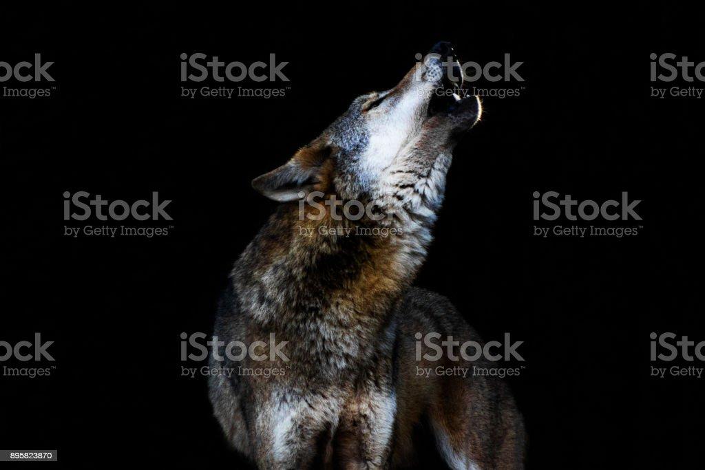 heulender lobo II - foto de acervo