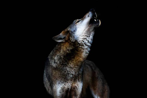 heulender wolf ii - wolf stock-fotos und bilder
