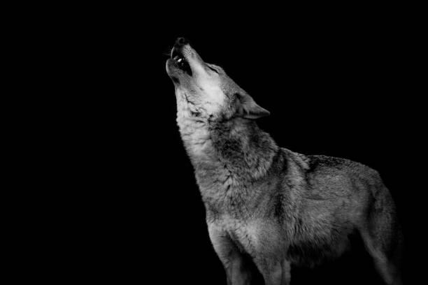 heulender Wolf stock photo