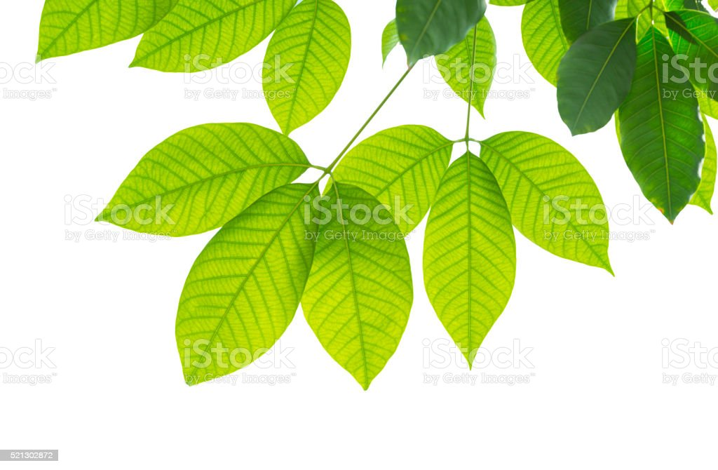 Hevea brasiliensis Rubber tree stock photo
