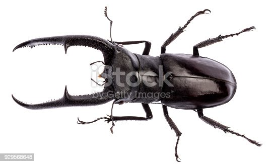 Large stag beetle Hexarthrius mandibularis with mighty mandibles from Indonesia isolated on white background