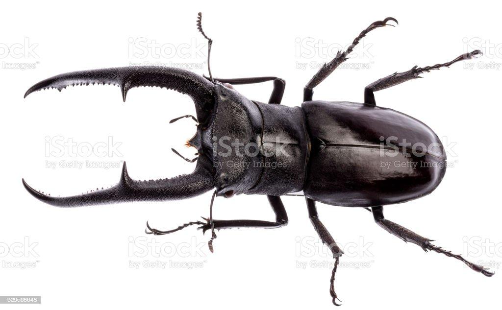 Hexarthrius mandibularis stag beetle isolated stock photo