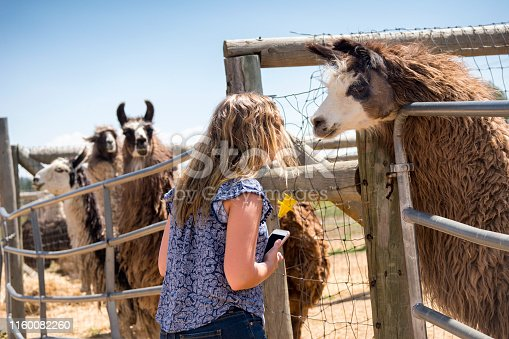 Blond teenage girl interacts with llamas on a farm near Cripple Creek