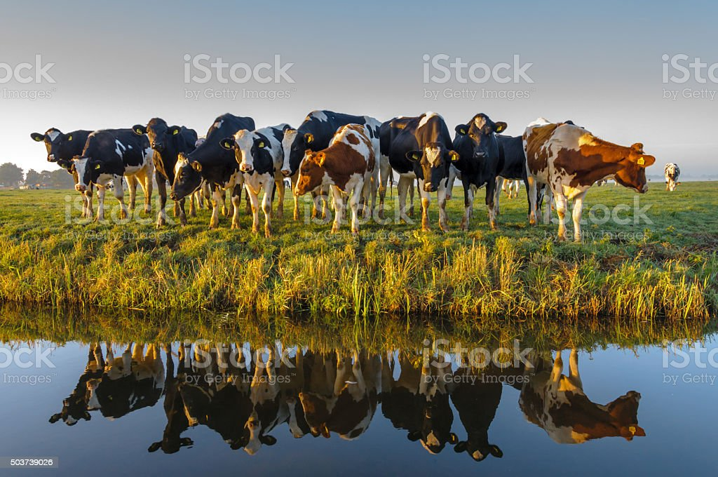 Hey Ladies! A group of curious cows in autumn morning light. A typical Dutch rural scene. Agricultural Field Stock Photo