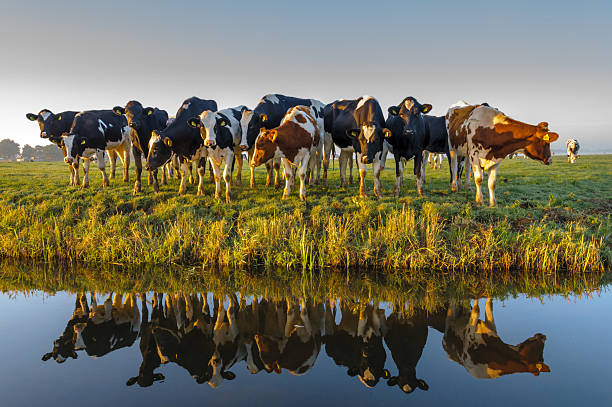 Hey Ladies! A group of curious cows in autumn morning light. A typical Dutch rural scene. cattle stock pictures, royalty-free photos & images