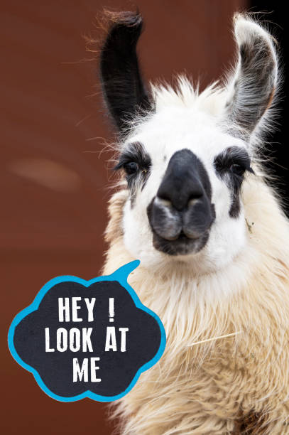 Hey! Look at Me ,Funny Llamas stock photo