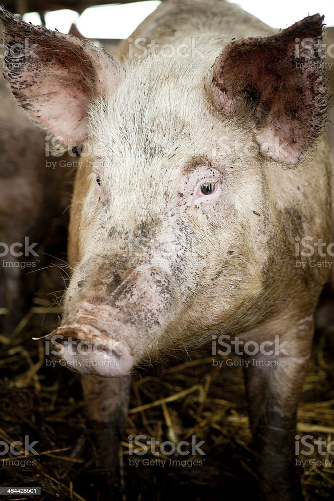 Hey you - Happy Pigs royalty-free stock photo