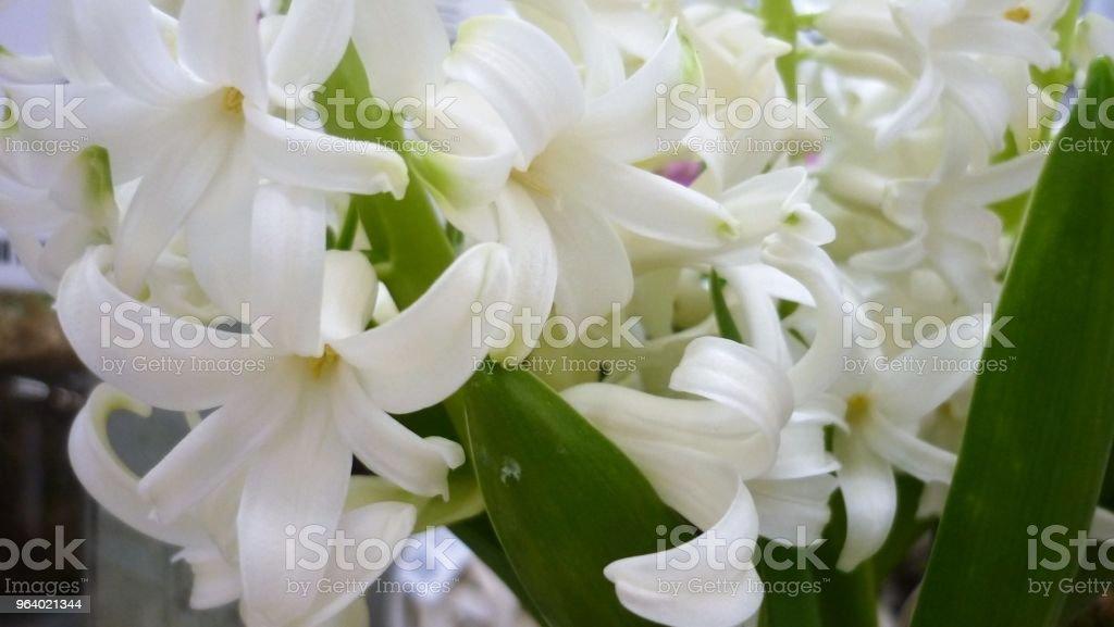 Hiacynt - Royalty-free Beauty Stock Photo