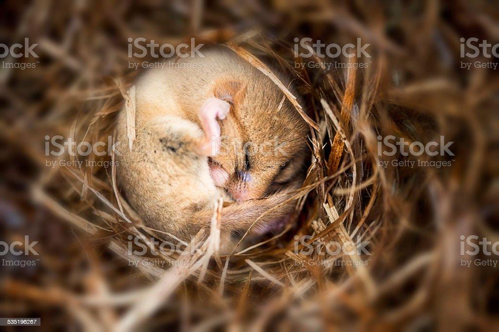 hibernating dormouse stock photo