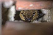 istock Hibernating pipistrelle bat 1071194020