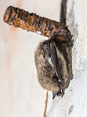 istock Hibernating whiskered bat 1208125577
