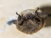 istock Hibernating whiskered bat 1208125707