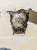 istock Hibernating whiskered bat 1208126305