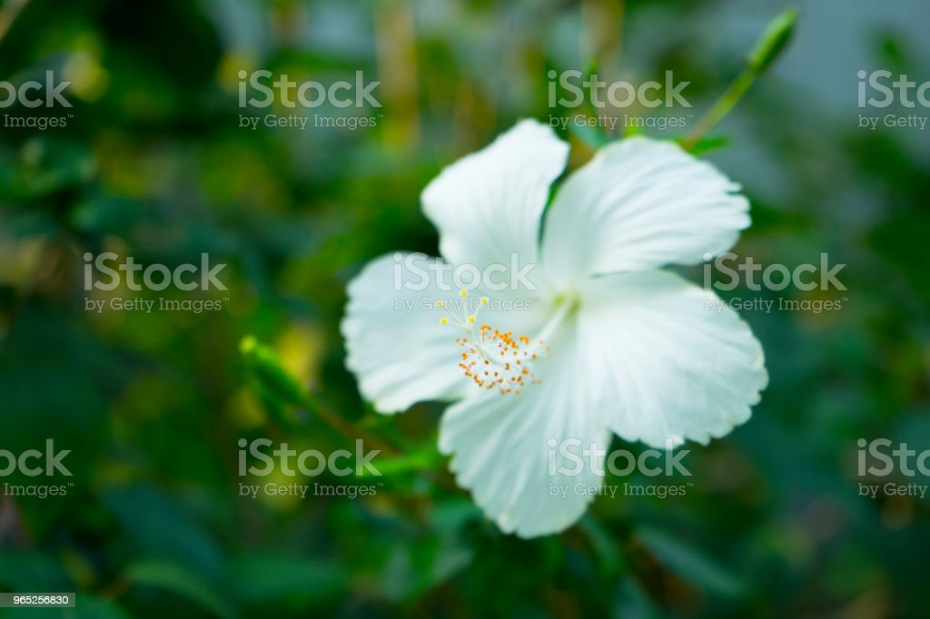 Hibicus flower in garden zbiór zdjęć royalty-free