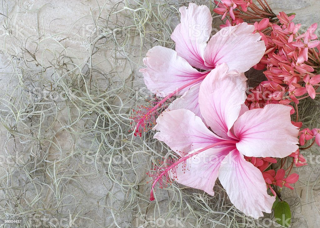 Hibicus on Moss Background royalty free stockfoto