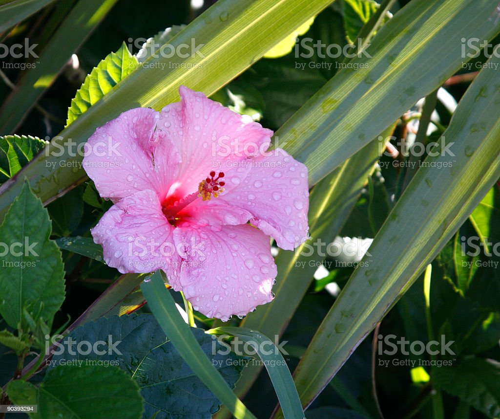 Hibiscus after rain royalty-free stock photo