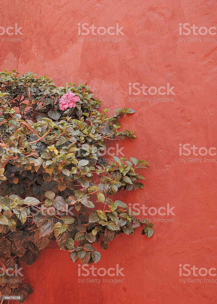 Hibiscus and terra cotta wall royalty-free stock photo