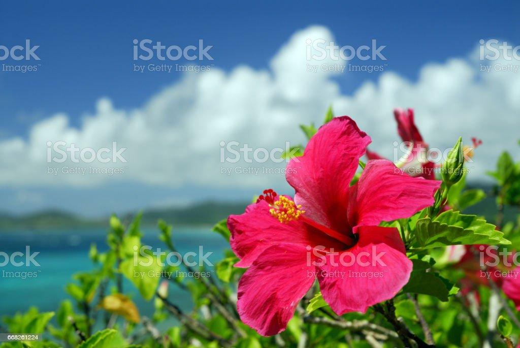 Hibiscus and the sea stock photo