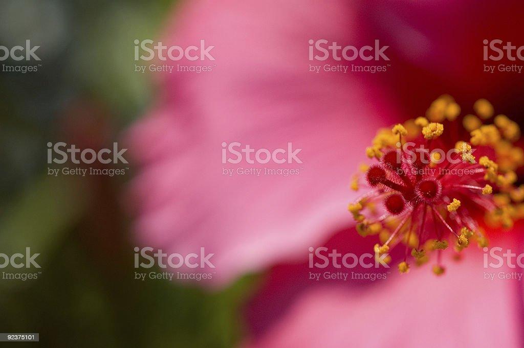 Hibiscus Flower 2 royalty-free stock photo