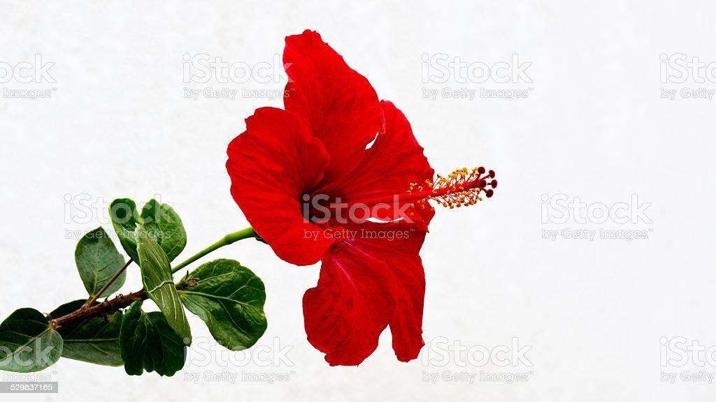 Hibiskus Blume Gegen Weißer Hintergrund - Stockfoto | iStock