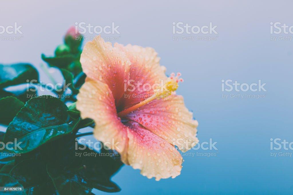 Hibiscus flower background stock photo