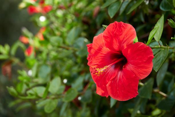 hibiscus flower blossom - pręcik część kwiatu zdjęcia i obrazy z banku zdjęć