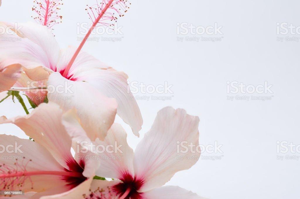 Hibiscus flower border - Royalty-free Aromatherapy Stock Photo