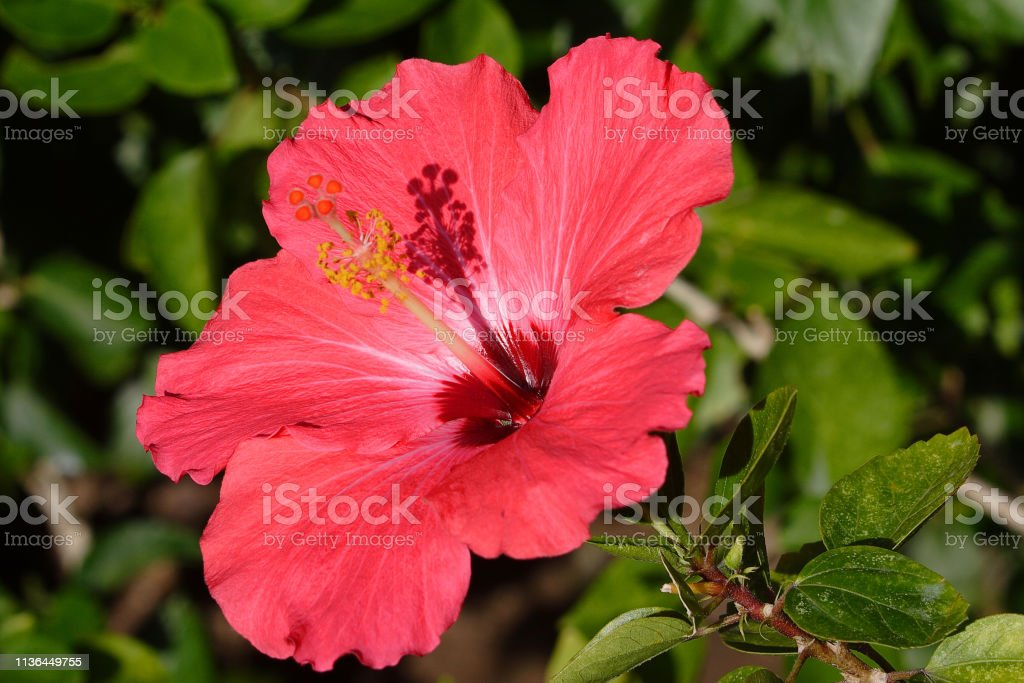 Hibiscus flower close up stock photo