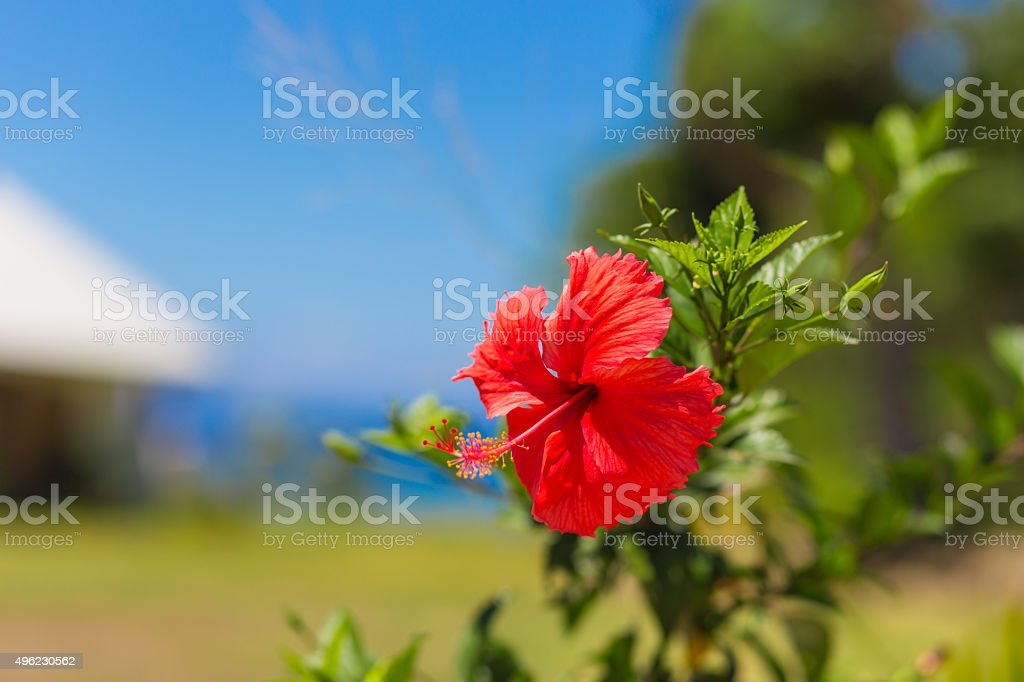 Hibiscus flower in Fiji stock photo