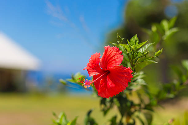 Hibiscus flower in Fiji stock photo