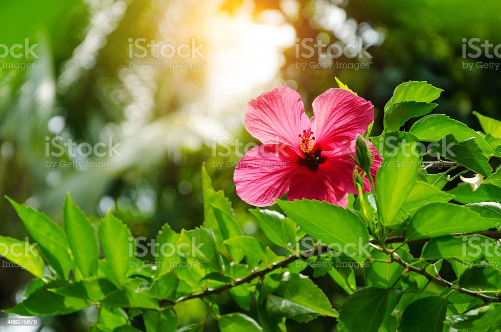 Hibiscus flower in front of palms stock photo